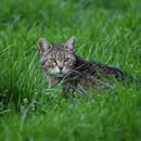 Kullancs kérdés a cicák esetében