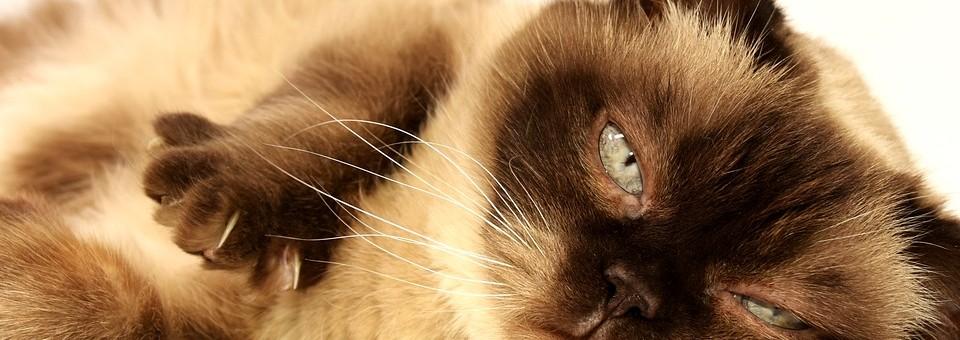 Macska AIDS vagy FIV – Mi az?